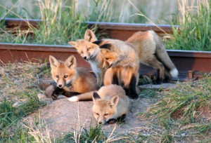 Fox kits coming out of the den near Philipsburg, Montana.