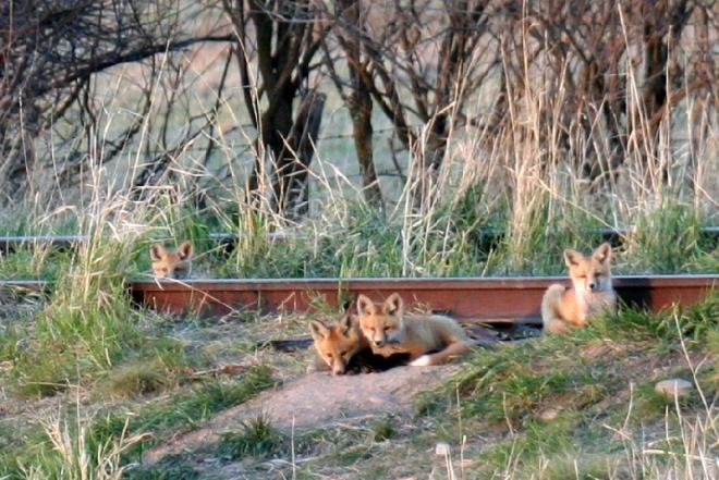 Fox Kits Venturing Out
