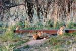 These fox kits aren't sure if they can safely venture out of their den under the rail road tracks. Wildlife viewing is great in and around Philipsburg, Montana.