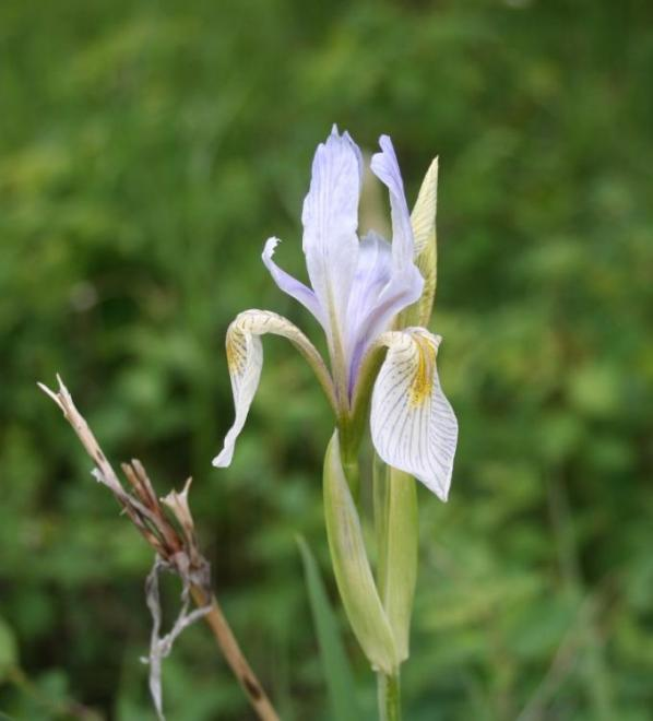 Wild Iris in Philipsburg Foothills