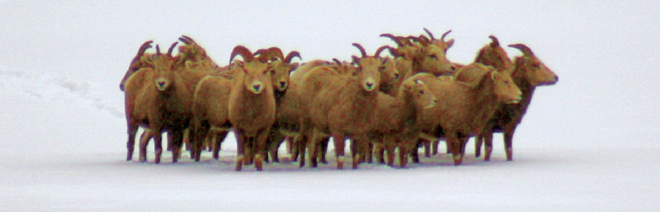 Bighorn Sheep in the snow near Georgetown Lake, Montana